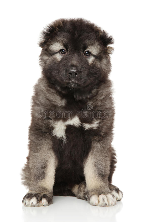 Caucasian shepherd puppy on white stock images