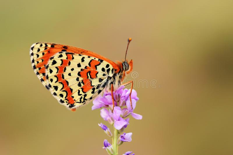 The Caucasian Spotted Fritillary butterfly or Melitaea interrupta stock photography