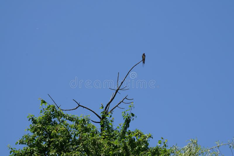 Caucasian village swallow Hirundo rustica sitting on a branch of. Caucasian village swallow Hirundo rustica sitting on a dry branch of a tree in the foothills of royalty free stock photography