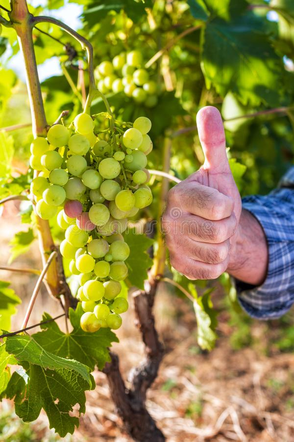 Caucasian Farmer at work in the vineyard. Caucasian winegrower working in an organic vineyard, ago ok sign with his thumb up. Traditional agriculture. Sardinia stock photo