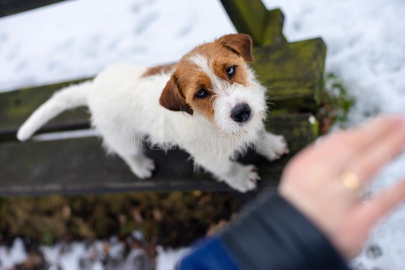 Caucasian woman in a winter park with his dog, Jack Russell Terrier stock image