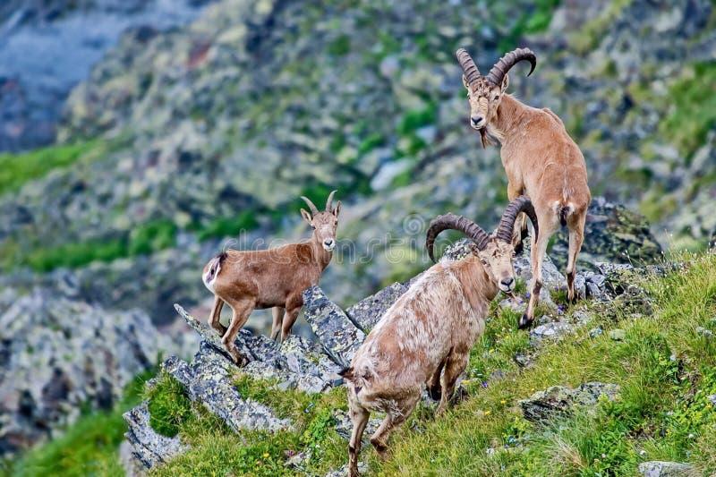 Caucasica Capra δυτικού το καυκάσιο tur είναι μια αίγα-αντιλόπη βουνό-κατοίκισης που βρίσκεται μόνο στο δυτικό μισό των βουνών Κα στοκ εικόνες