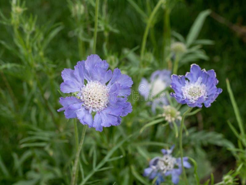 Caucasica caucásico de Scabiosa de la flor de acerico en el verano g fotos de archivo