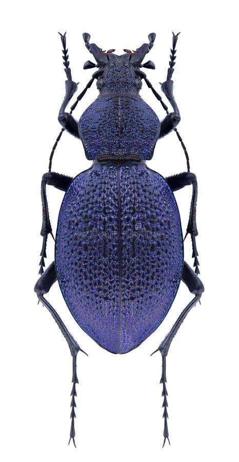Caucasicus de Carabus del escarabajo fotografía de archivo libre de regalías