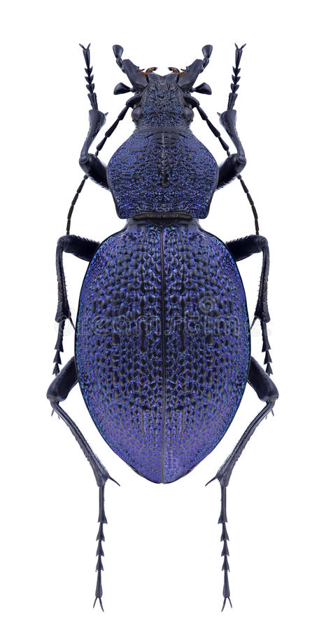 Caucasicus di Carabus dello scarabeo fotografia stock libera da diritti