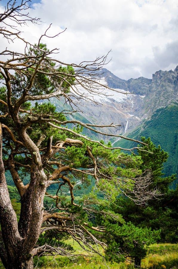 Caucasus pine. On the mountains backround royalty free stock photos