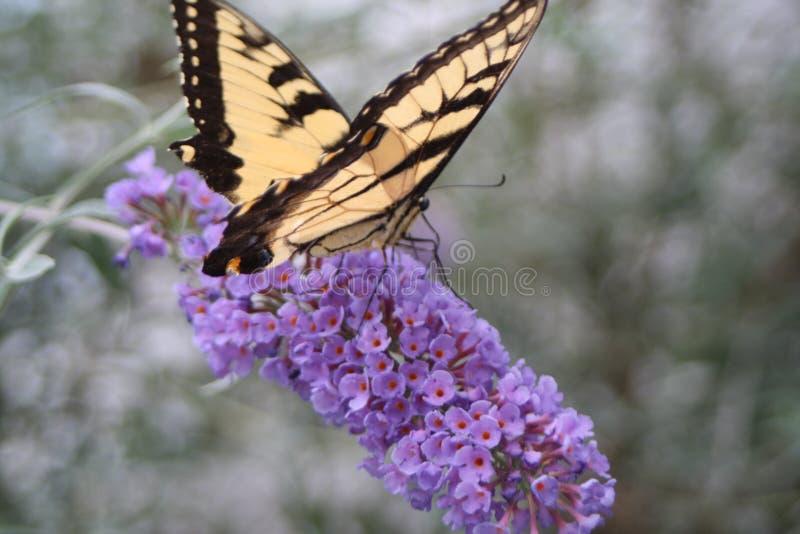 Cauda amarela da andorinha em um arbusto de borboleta foto de stock royalty free
