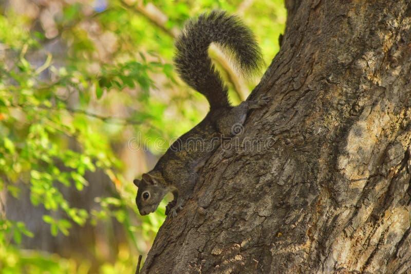 Cauda cinzenta do cabelo do esquilo na árvore fotos de stock