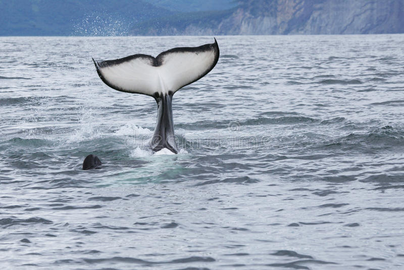 Cauda da baleia de assassino fotos de stock royalty free