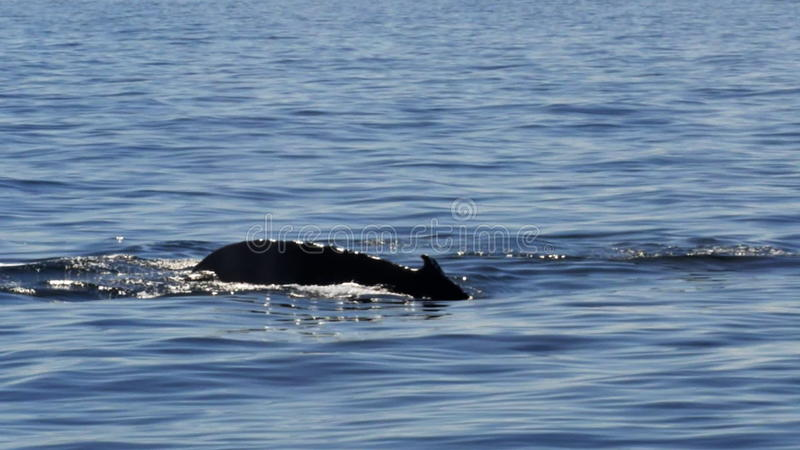 Cauda da baleia de corcunda video estoque
