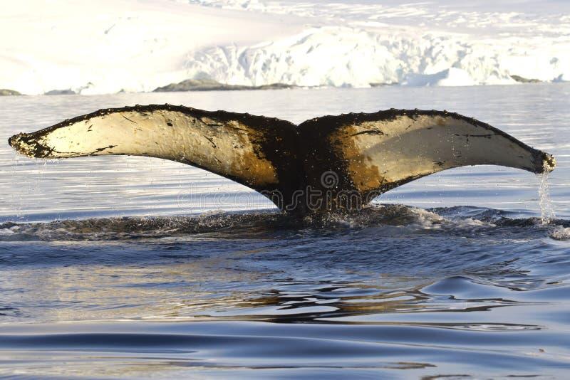 A cauda da baleia de corcunda mergulhou nas águas perto da pena antártica fotografia de stock