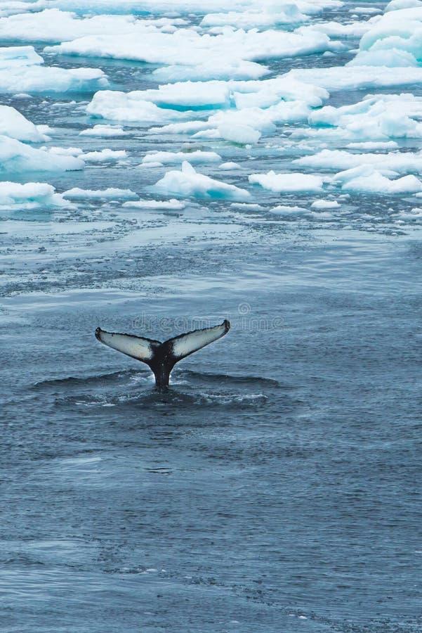 Cauda da baleia entre o gelo
