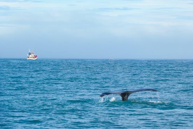 Cauda da baleia no mar no fundo do navio com turistas islândia foto de stock