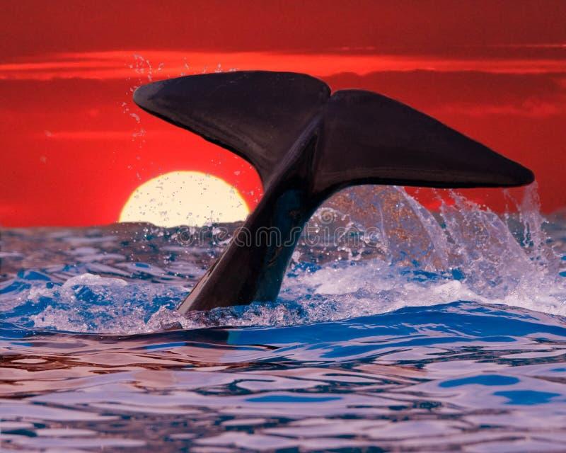 Cauda da baleia no por do sol foto de stock