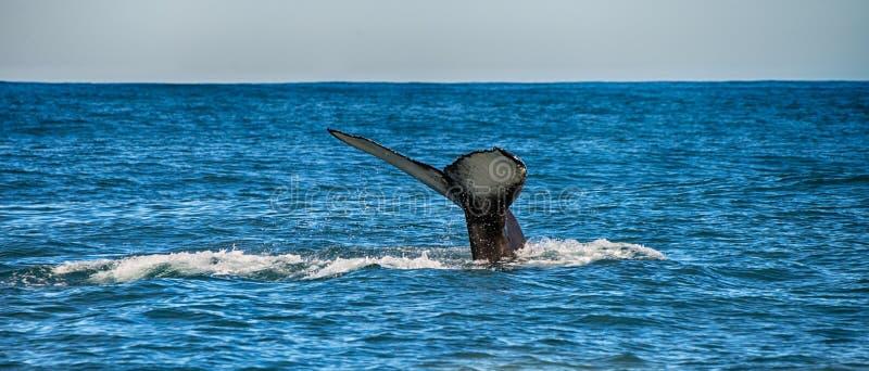 Cauda de uma baleia em Husavik, Islândia imagens de stock