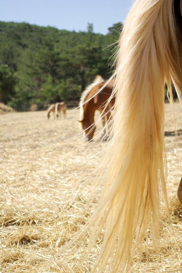 Cauda do cavalo e os cavalos de pastagem fotos de stock royalty free