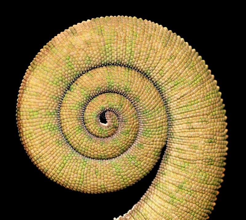 Cauda do Chameleon imagem de stock