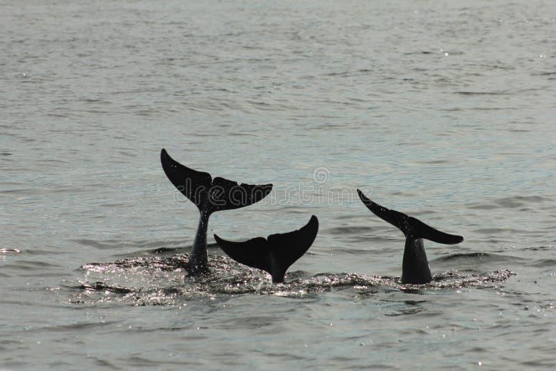 A cauda do conto de três golfinhos imagem de stock