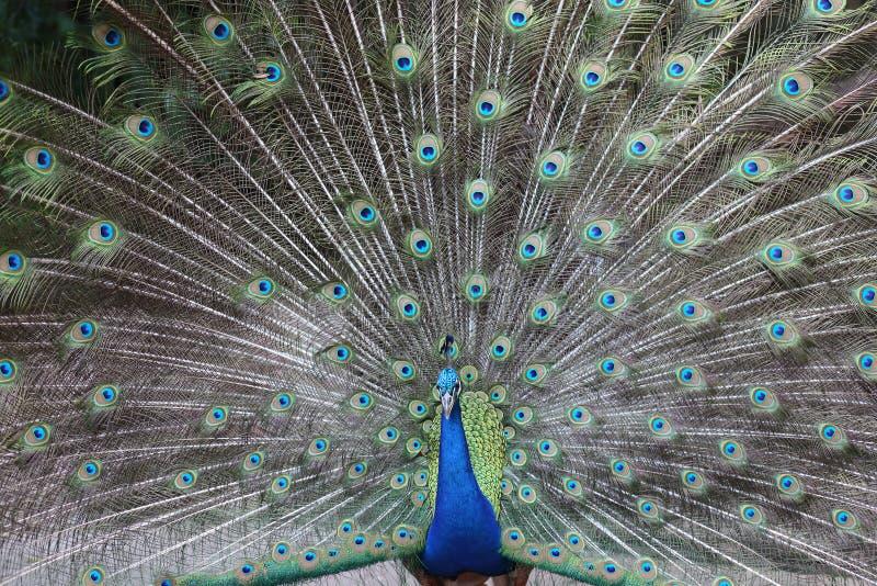 Cauda do pavão imagens de stock royalty free