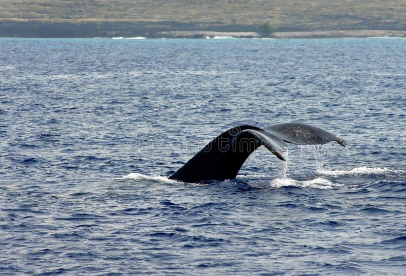 Cauda grande da baleia do console imagens de stock