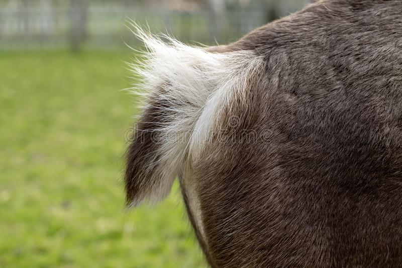 Cauda macia de um cervo, ideia lateral de uma parte traseira fotografia de stock