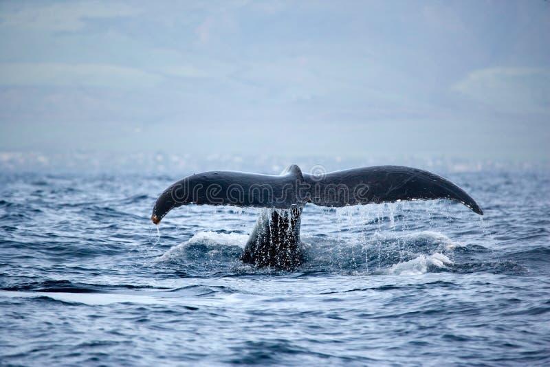 Cauda perfeita da baleia foto de stock