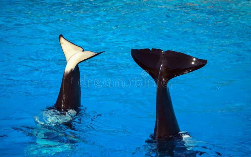 Caudas de Shamu foto de stock