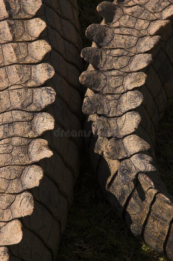 Caudas do crocodilo fotografia de stock royalty free