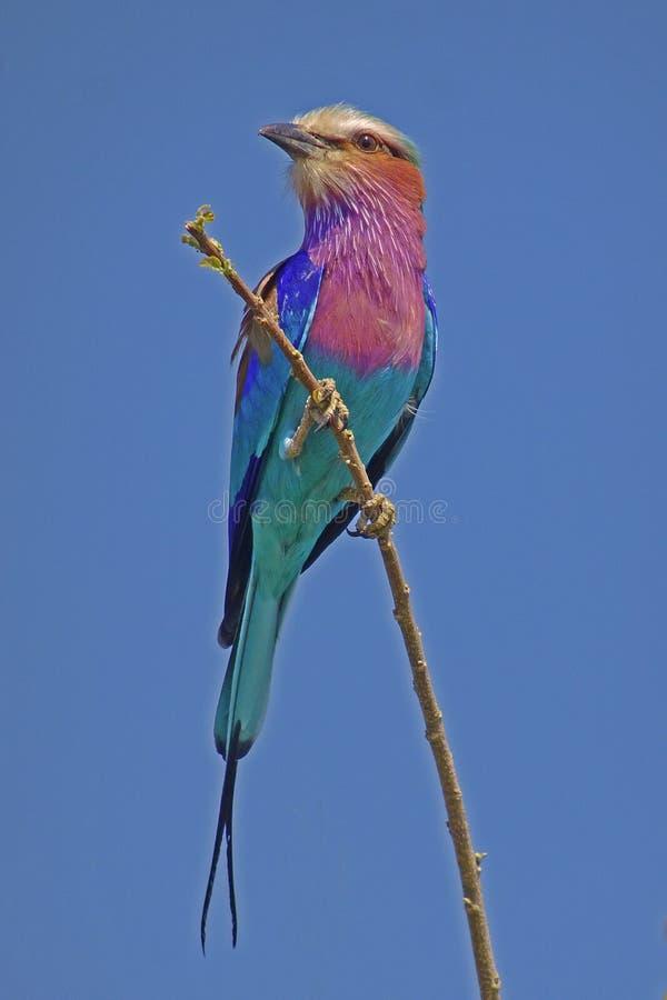 Caudatus del Coracias del rodillo de la lila-breasted foto de archivo libre de regalías