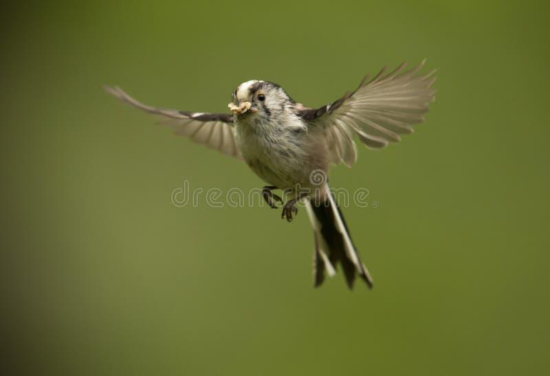caudatus Long-coupé la queue d'Aegithalos de mésange en vol photo libre de droits