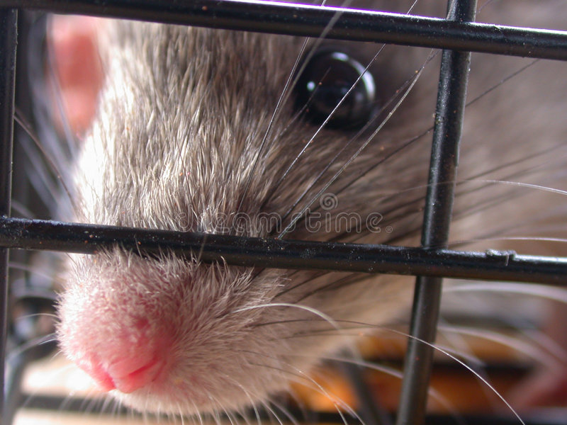 Download Caught stock photo. Image of pink, mouse, cage, small, caught - 9596