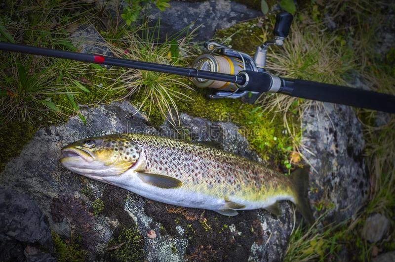 Caught brown trout fish and fishing tackle on river stone royalty free stock photography