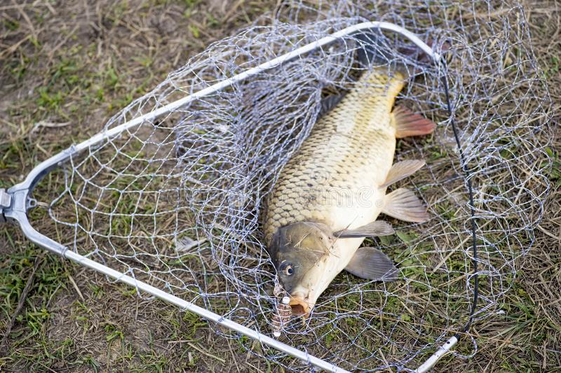 Caught carp on the shore in the net in the autumn. Background royalty free stock photo