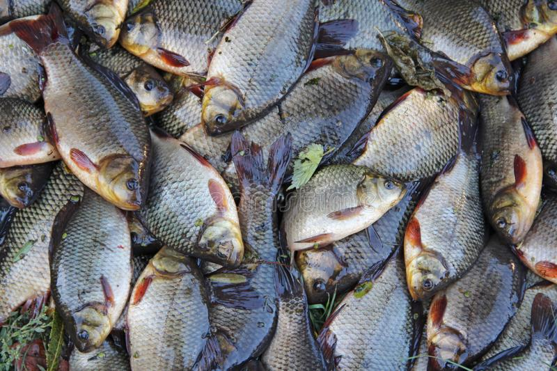 Caught crucians on green grass. Successful fishing. A lot of crucian carp Carassius carassius. Freshly caught river fish. Caught royalty free stock images