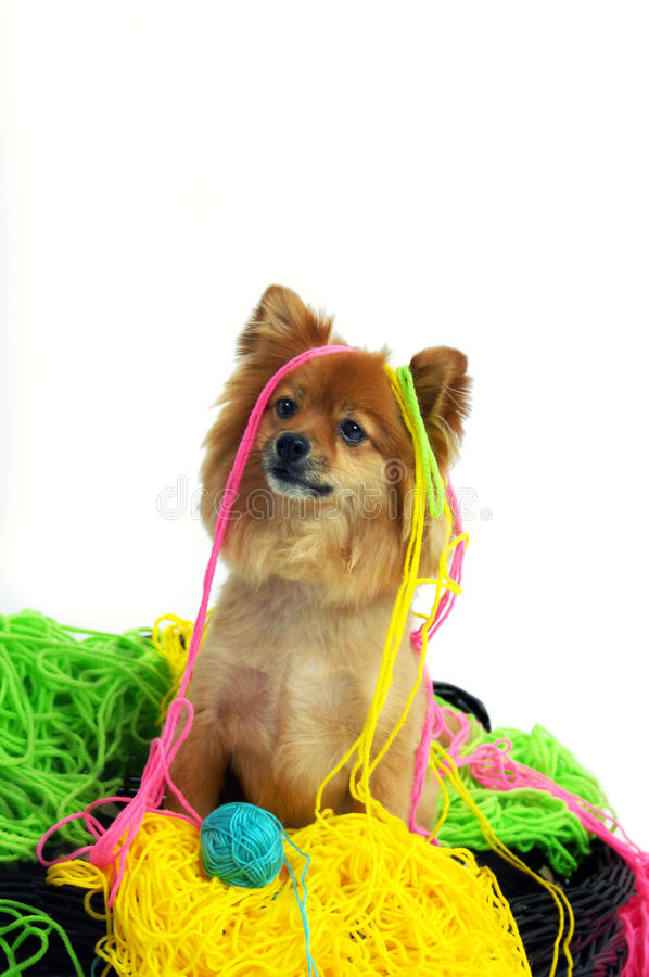 Caught in the Deed. This Pomeranian is draped in colorful yarn. His tangled mess forms a soft nest for him to sit in stock images