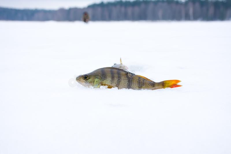 Caught by fisherman fish perch lies in snow on surface of lake was covered with ice on background of forest. Scene with winter ic royalty free stock photos