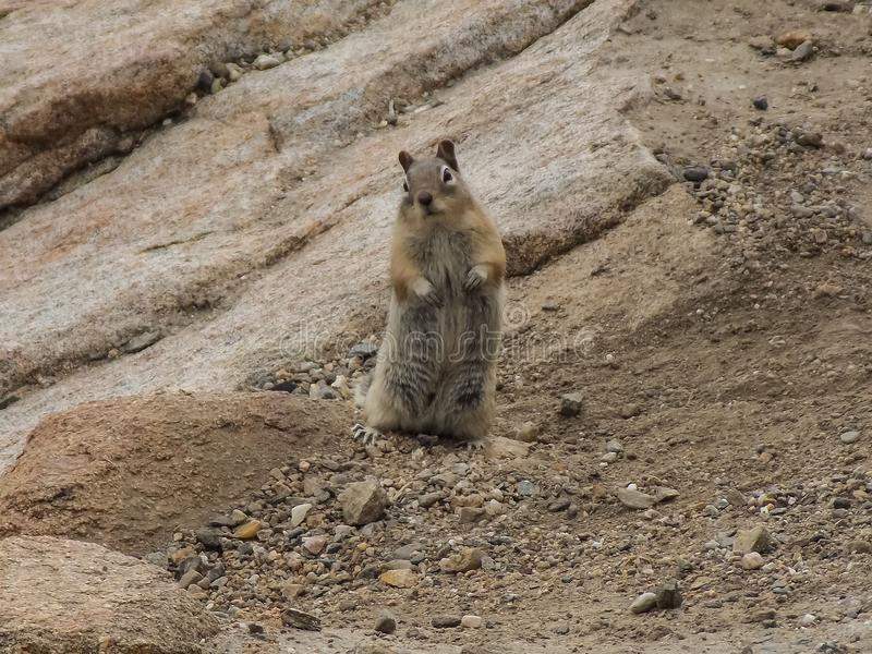 Curious Chipmunk in Rocky Mountain National Park. Caught this little guy, being fairly brave. He was very curious as too what I was up too. Maybe looking for royalty free stock image