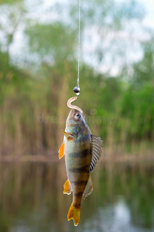 Caught perch on silicon bait. In the river in summer royalty free stock image