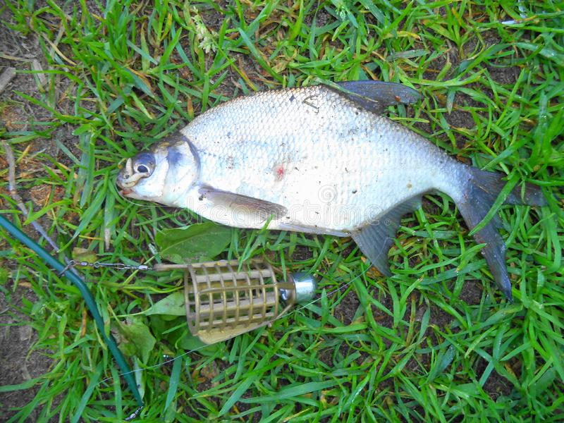 caught a small bream feeder near the feeder stock photos