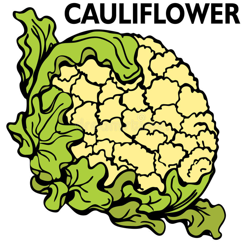 Cauliflower. An image of a head of cauliflower stock illustration