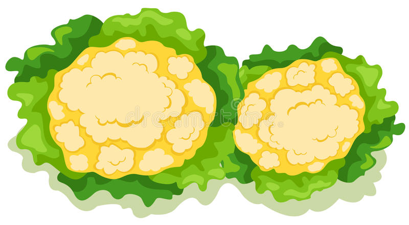 Cauliflower. Illustratiion of isolated cauliflower on white background royalty free illustration