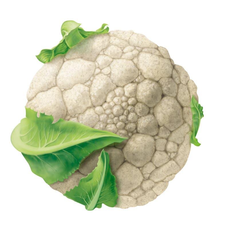 Cauliflower stock illustration