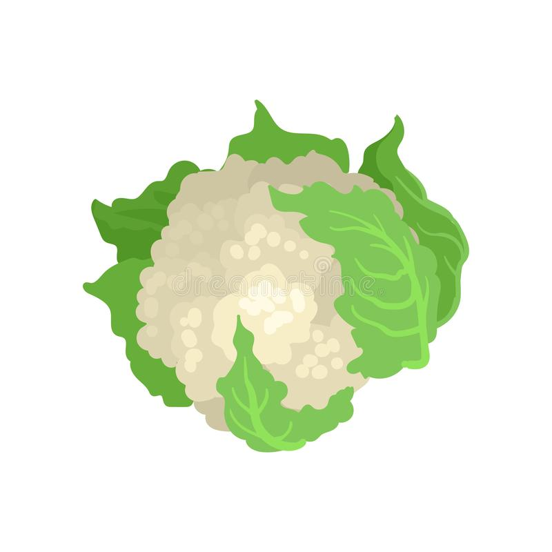 Cauliflower with bright green leaves. Natural and healthy vegetable. Organic farm product. Vegetarian nutrition. Flat. Cauliflower with bright green leaves stock illustration