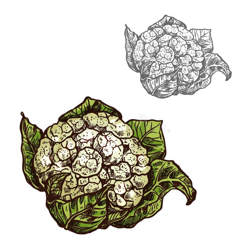 Cauliflower cabbage vector sketch vegetable icon. Cauliflower cabbage sketch icon. Vector isolated symbol of fresh farm grown vegetarian brassica cole or kale royalty free illustration