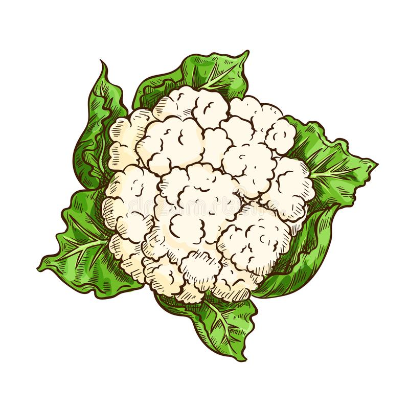 Cauliflower cabbage vegetable isolated sketch. Cauliflower vegetable isolated sketch. Vector cauliflower cabbage with green leaf, garden veggies for diet or stock illustration