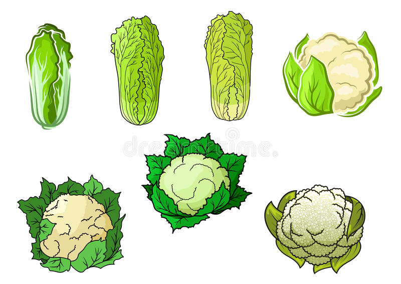 Cauliflower and chinese cabbage vegetables. Sappy green cauliflower and chinese cabbage vegetables with crunchy leaves and tasty creamy inflorescences for stock illustration