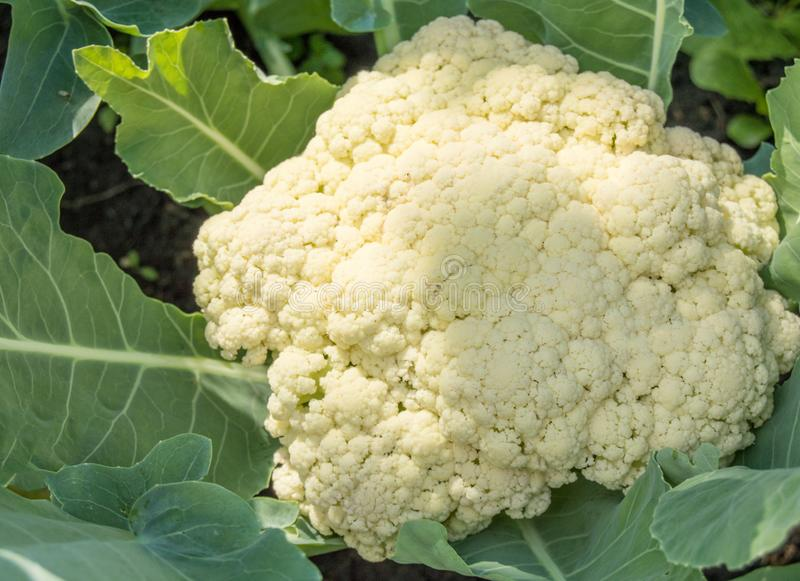 Cauliflower growing in the field, sunlight falls on the head, soil background royalty free stock photography