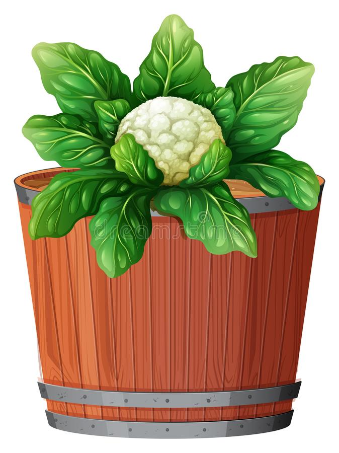 Cauliflower in large pot. Illustration stock illustration