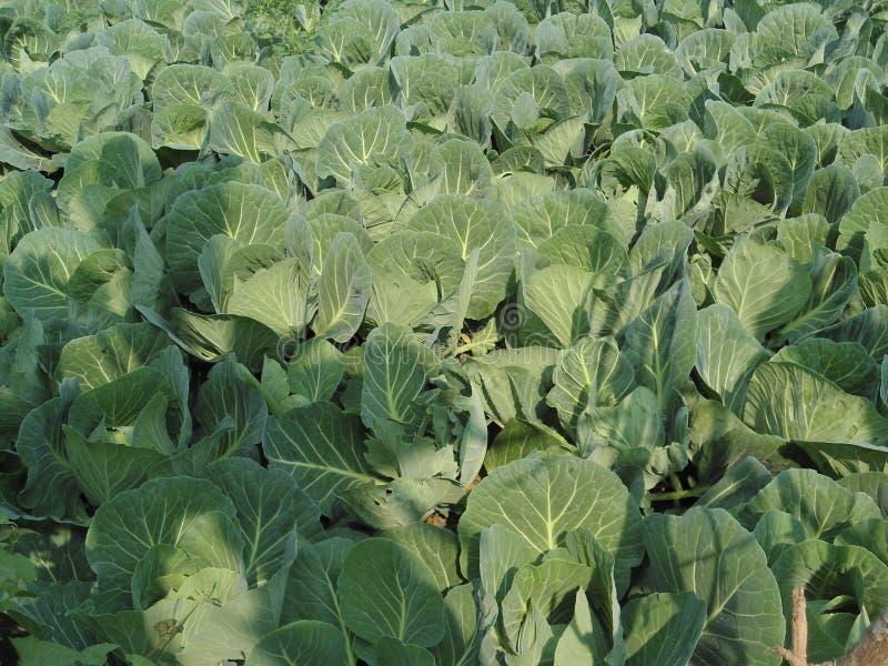 Cauliflower leaf royalty free stock photos