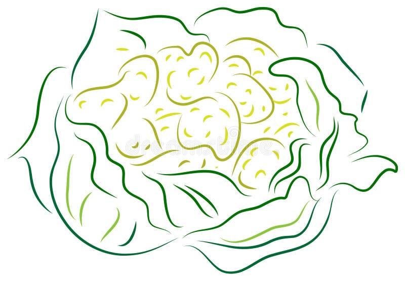 Cauliflower. Line art brush stroke image of cauliflower royalty free illustration